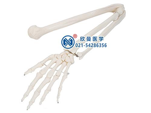XM-147上肢骨模型,手臂骨模型