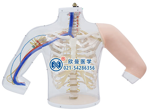 XM-SB2上臂肌肉注射及对比模型