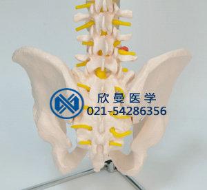 模型骨盆部位侧面结构