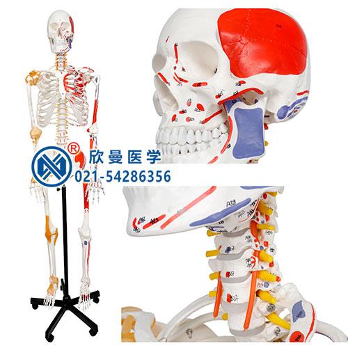 人体骨骼附关节韧带和肌肉起止点着色模型(正面)
