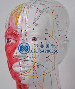 模型头面部穴位
