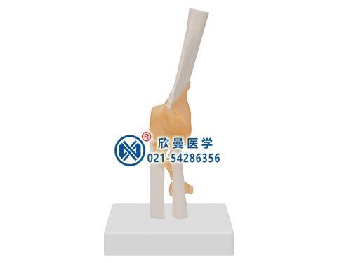 XM-144肘关节模型,肘关节附韧带模型