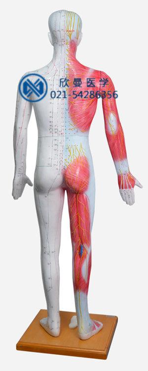 模型背部穴位特征