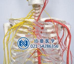 人体骨骼附动脉和神经分布模型胸腹部血管神经分布