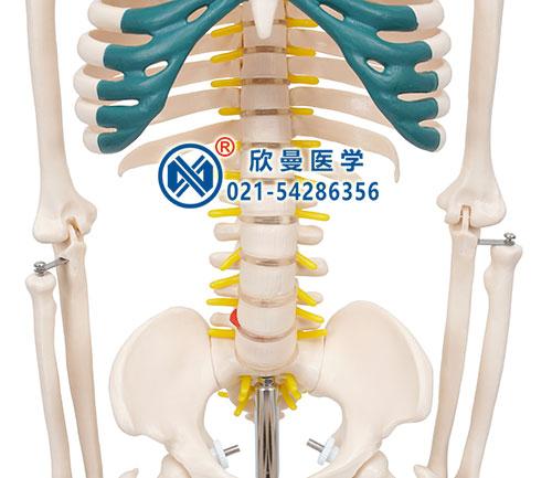 人体骨骼带神经模型2