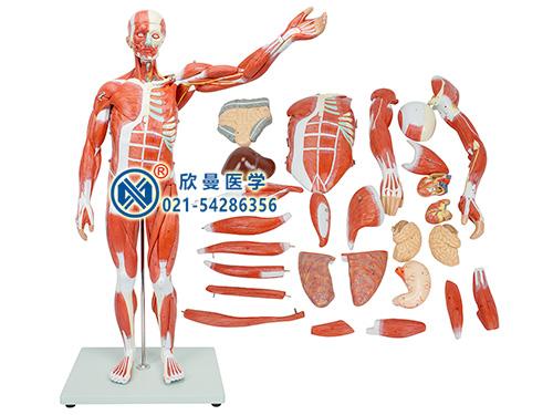 XM-302A人体全身肌肉附内脏模型