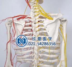 人体骨骼附动脉和神经分布模型背部血管神经分布