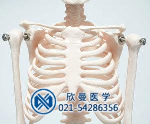 模型胸肋骨结构特征