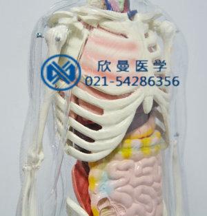 模型胸肋骨右侧结构