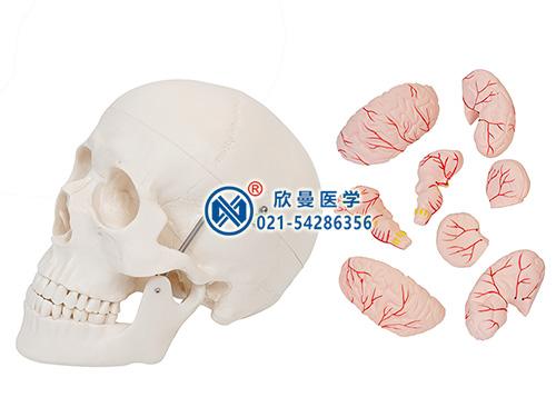 XM-116B头颅骨带脑动脉模型,颅脑模型