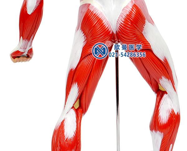 人体全身肌肉运动模型腿部肌肉
