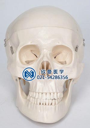 头颅骨带脑动脉模型正面结构