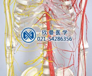 模型血管神经分布情况