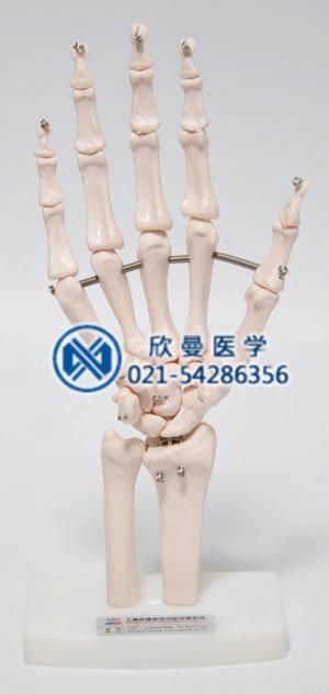 人体骨骼标本模型正面结构