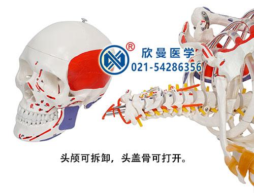 人体骨骼附关节韧带和肌肉起止点着色模型(头颅骨可拆卸)