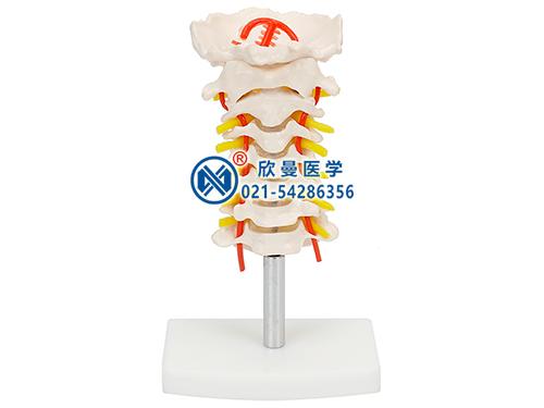 XM-137颈椎模型,颈椎带颈动脉模型