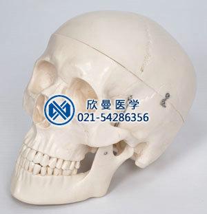 头颅骨带脑动脉模型整体结构