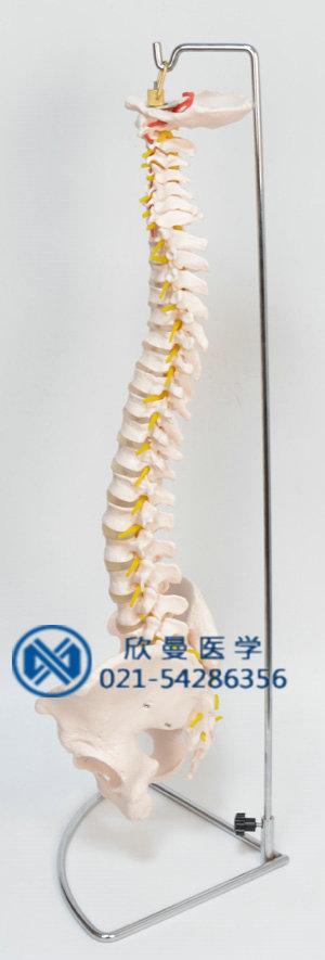 脊椎模型侧面结构