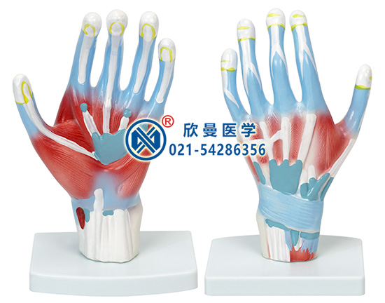 手解剖模型(示小指展肌)