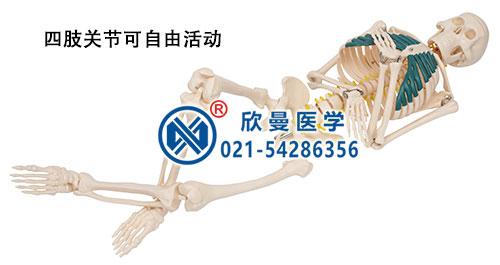 人体骨骼带神经模型(四肢关节可自由活动)