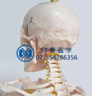 模型头颅后部结构特征,带颈椎