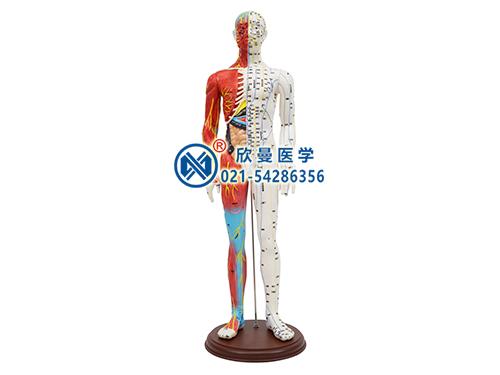 XM-60人体针灸模型带肌肉解剖