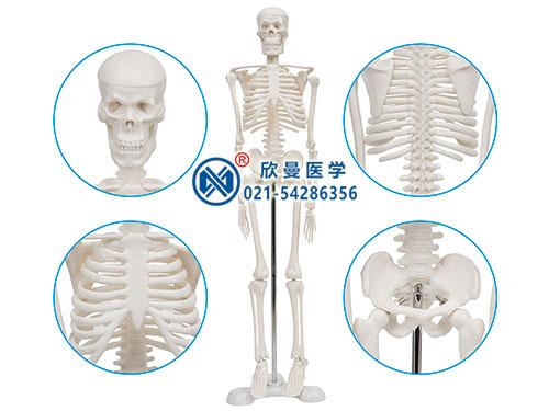 XM-104人体骨骼标本模型