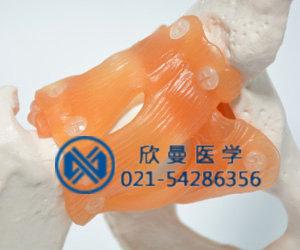 模型韧带部位结构特征