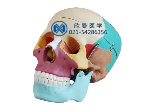 XM-122彩色头颅骨模型