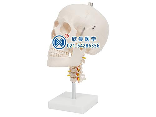 XM-121头颅骨带颈椎模型