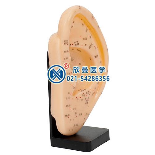 耳针灸模型侧面