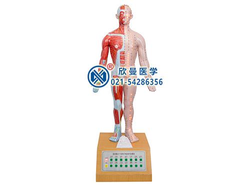 XM-85A电动十四针灸模型,十四电动针灸模型