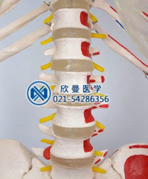 人体骨骼附半边肌肉着色附韧带模型腰椎结构