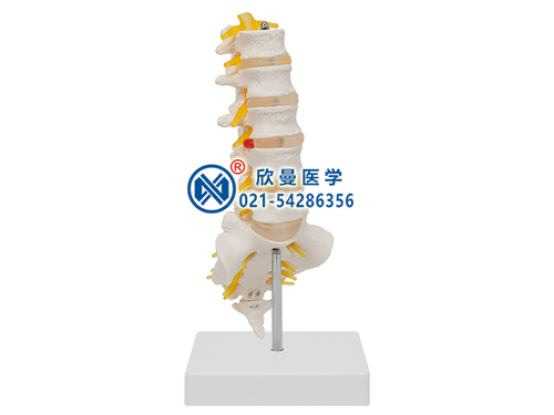 XM-134腰椎带尾椎骨模型