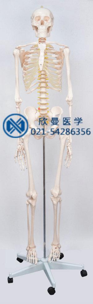 人体骨骼模型整体结构