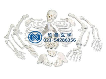XM-115人体骨骼散骨模型,游离骨模型