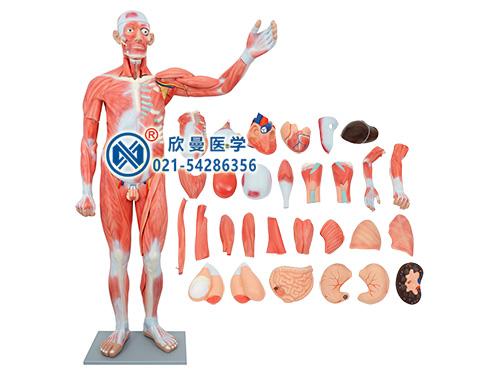 XM-301人体肌肉模型,人体肌肉解剖模型
