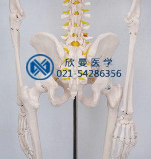 模型的腰椎带尾骨结构特征