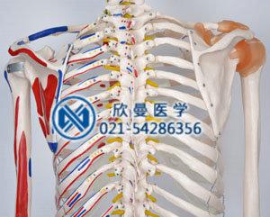 模型背部骨骼结构