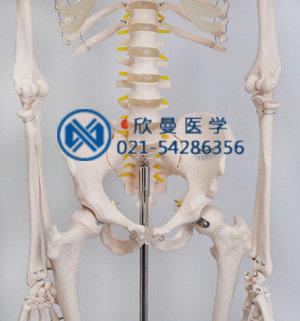 模型骨盆结构