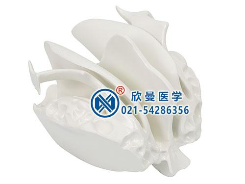 XM-155筛骨模型,筛骨放大模型