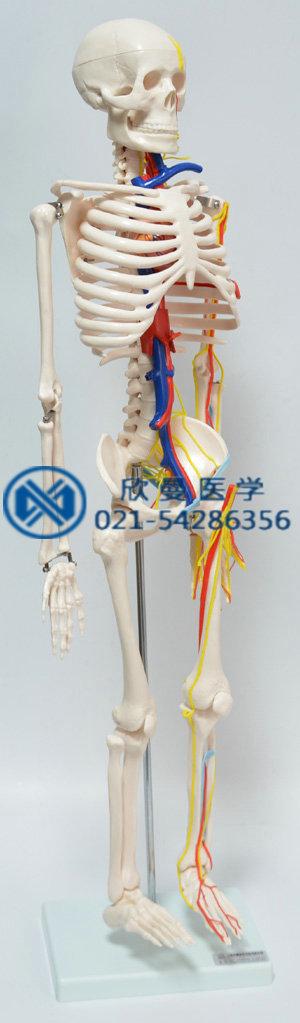 人体骨骼附主要动脉和神经分布模型右侧血管神经分布