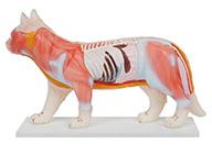 猫体针灸模型