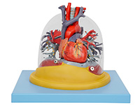 心脏与透明肺、气管、支气管树模型
