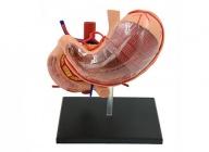 胃解剖模型(9部件)