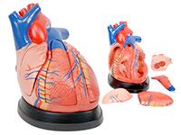 心脏解剖放大模型(放大3倍,5部件)