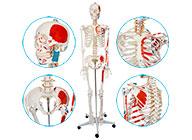 人体骨骼附半边肌肉着色模型170CM