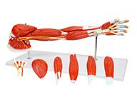 上肢肌肉附主要血管神经模型