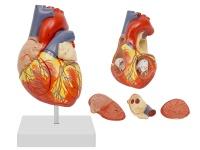 心脏解剖放大模型(放大2倍,4部件,带数字标识)