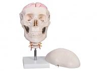 头颅骨带7节颈椎及脑动脉模型